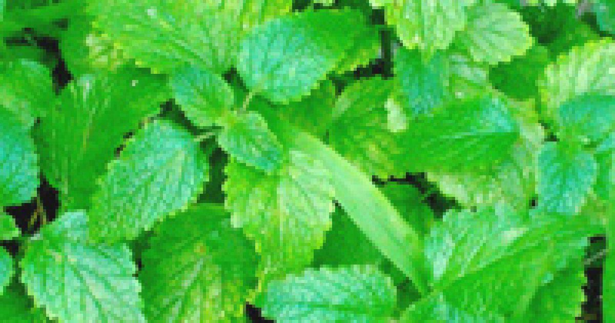 A gyógynövények és a magas vérnyomás