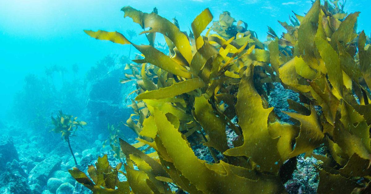 a tengeri moszat segít a fogyásban
