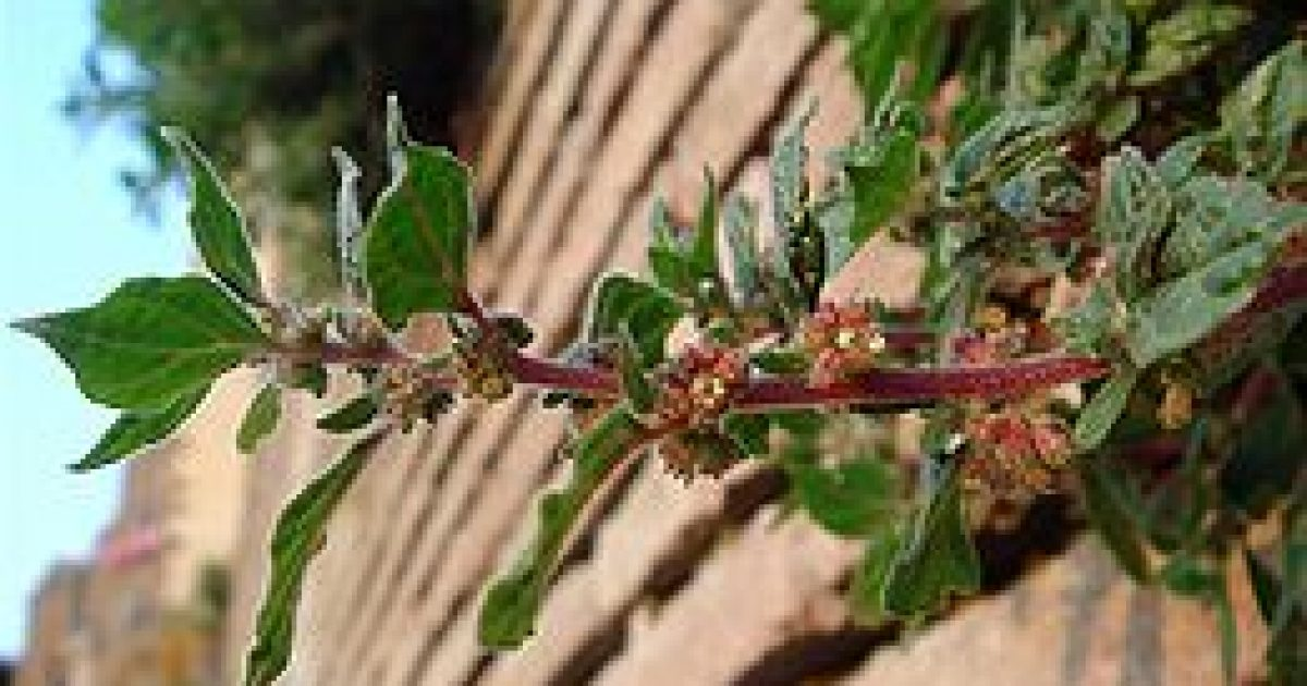 A falgyom: gyógynövény és erős allergén