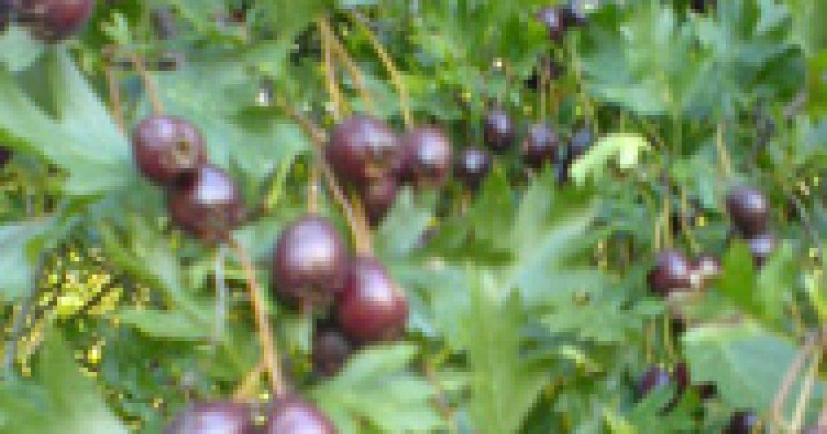 Szíves gyógynövények (2.)