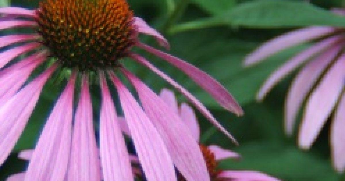 Gyógynövényekkel a felső légutak gyulladásai ellen