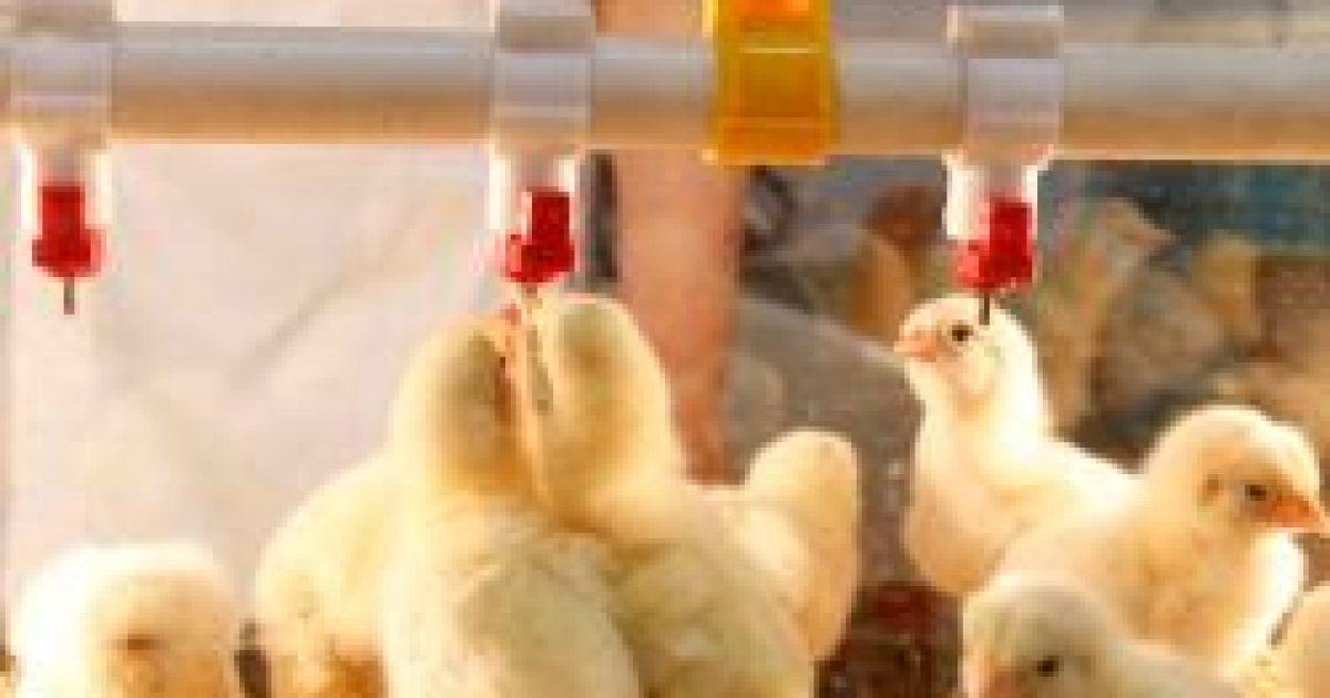Betiltja az FDA az antibiotikumok nem terápiás alkalmazását az állatokban