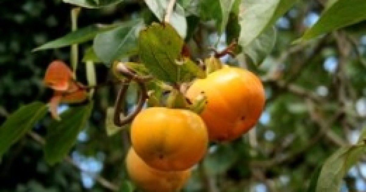 Datolyaszilva, az istenek gyümölcse