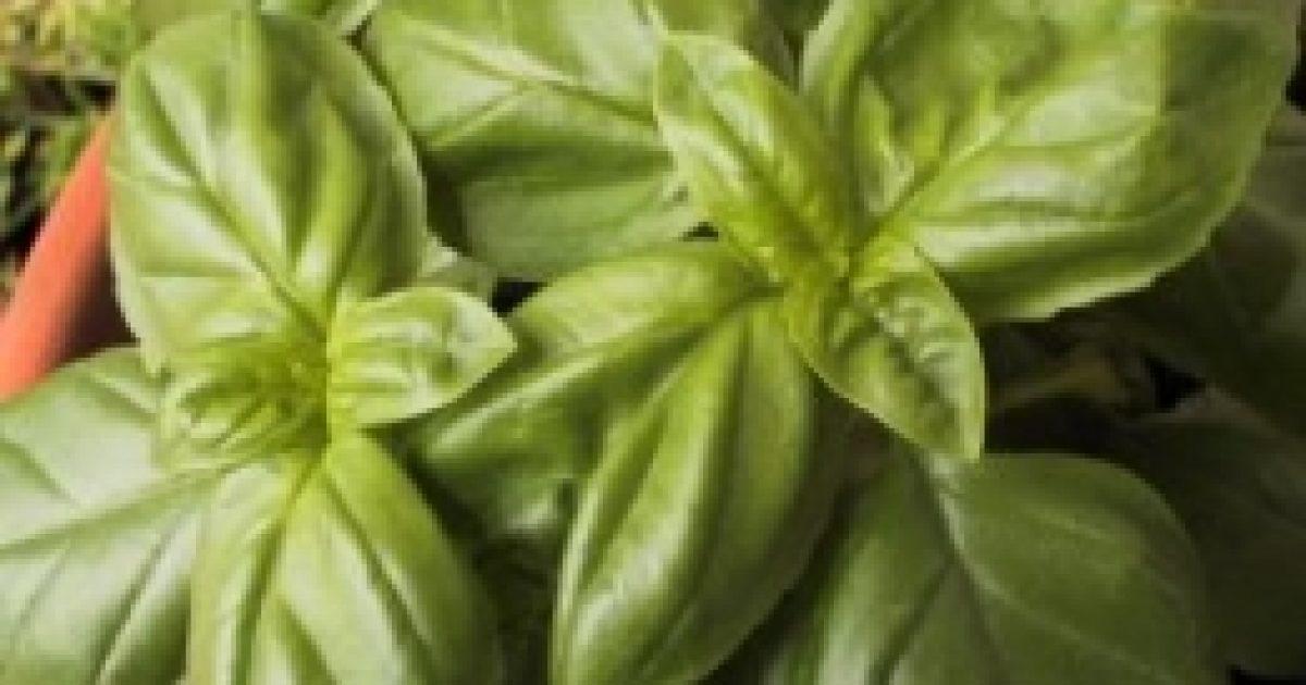 Konyhai fűszernövények gyógyító hatása (2.)