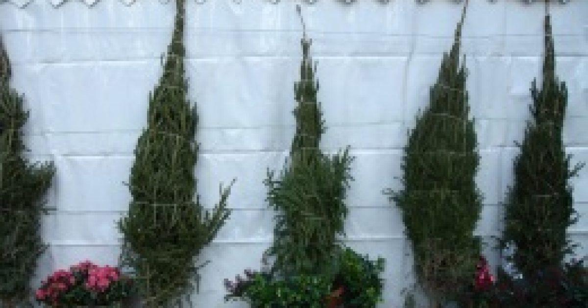 Szénanáthát okozhat a karácsonyfa