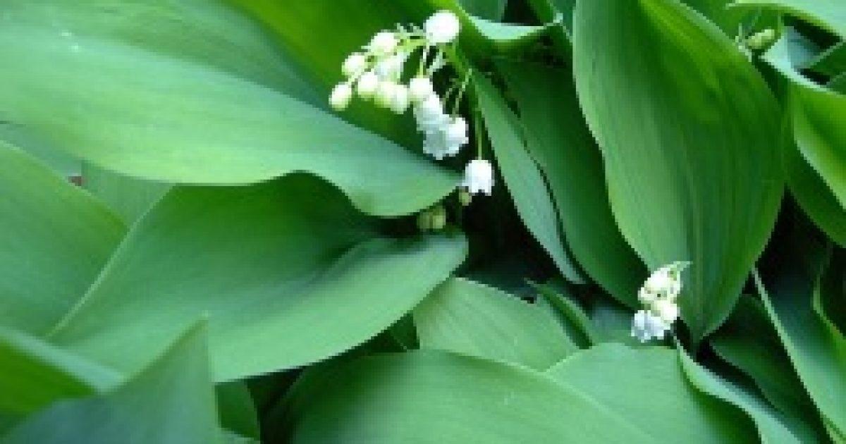Illatos tavaszi gyilkos: a gyöngyvirág