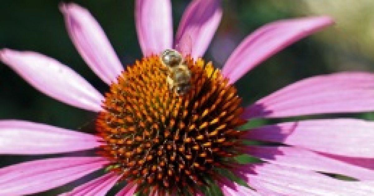 Echinacea, a görög sündisznó