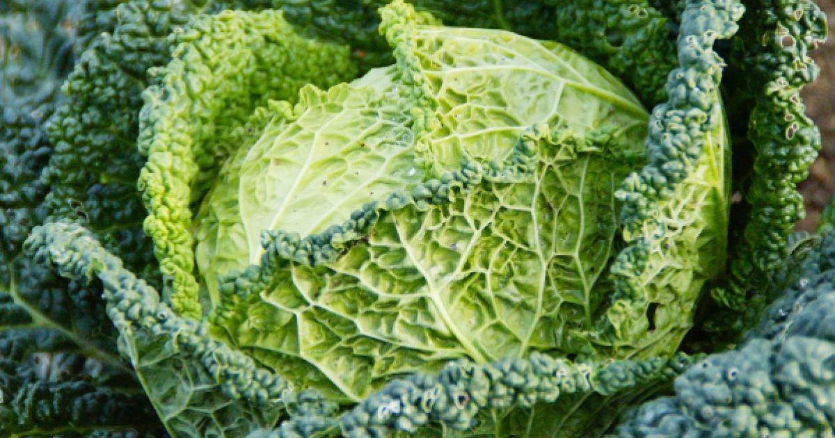 Kelkáposzta – újra divatos szuperzöldség