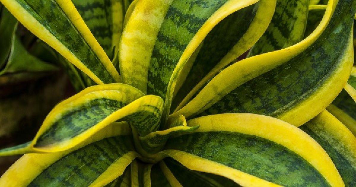 Növények, amelyektől úgy alszik majd, mint a bunda