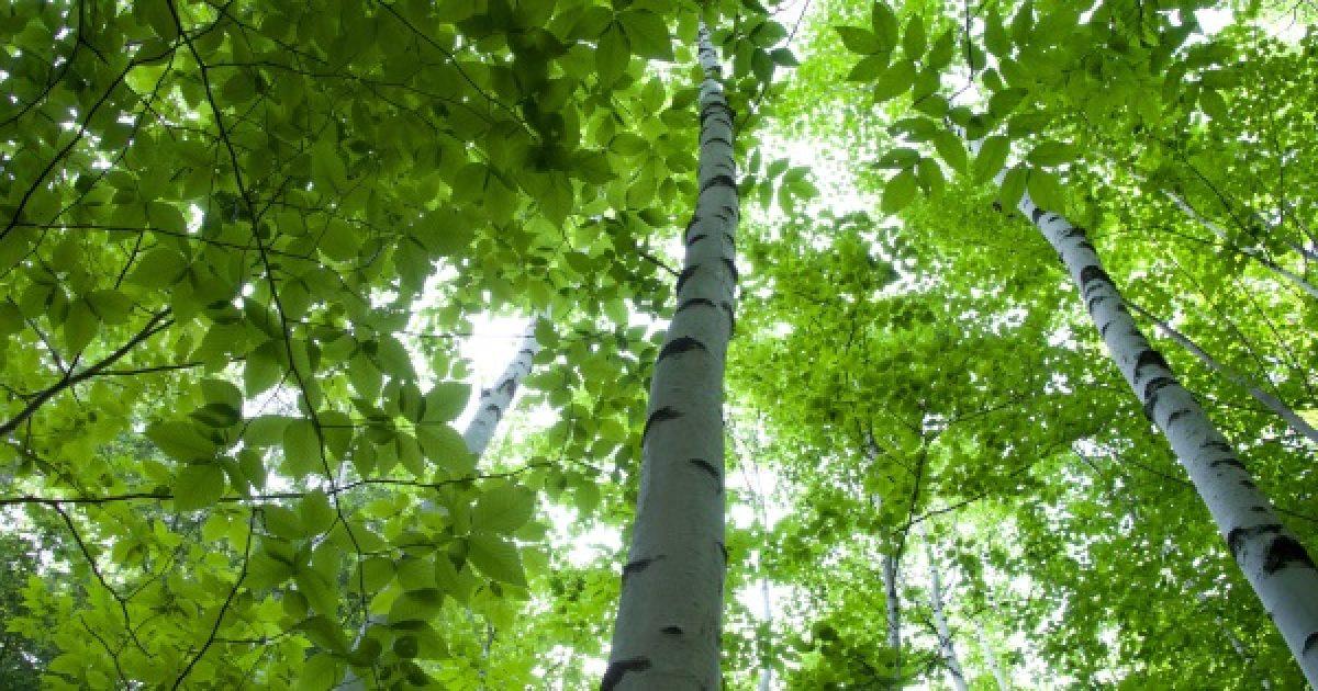 A nyírfa áldásos hatásai