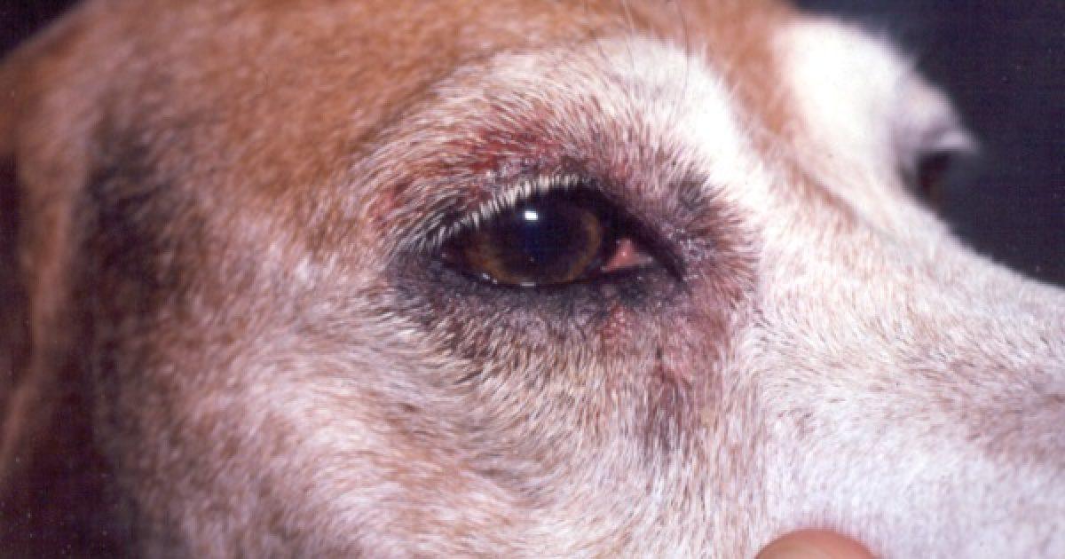 Segítség, allergiás a kutyám! (2.)