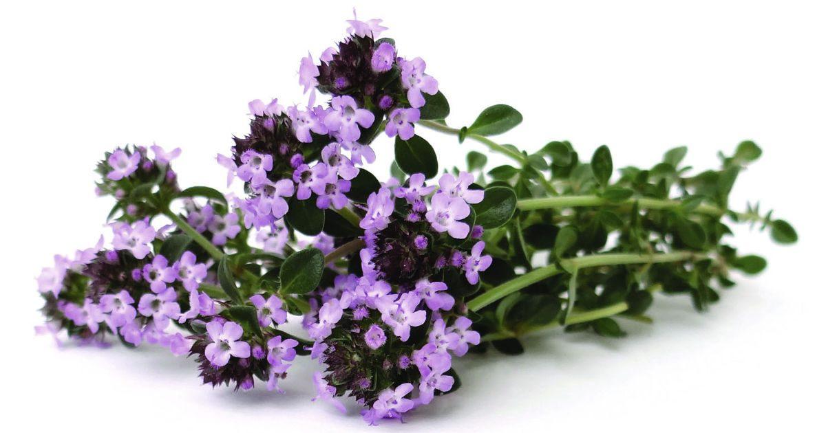 Mezei kakukkfű: illatos, gyógyító, finom