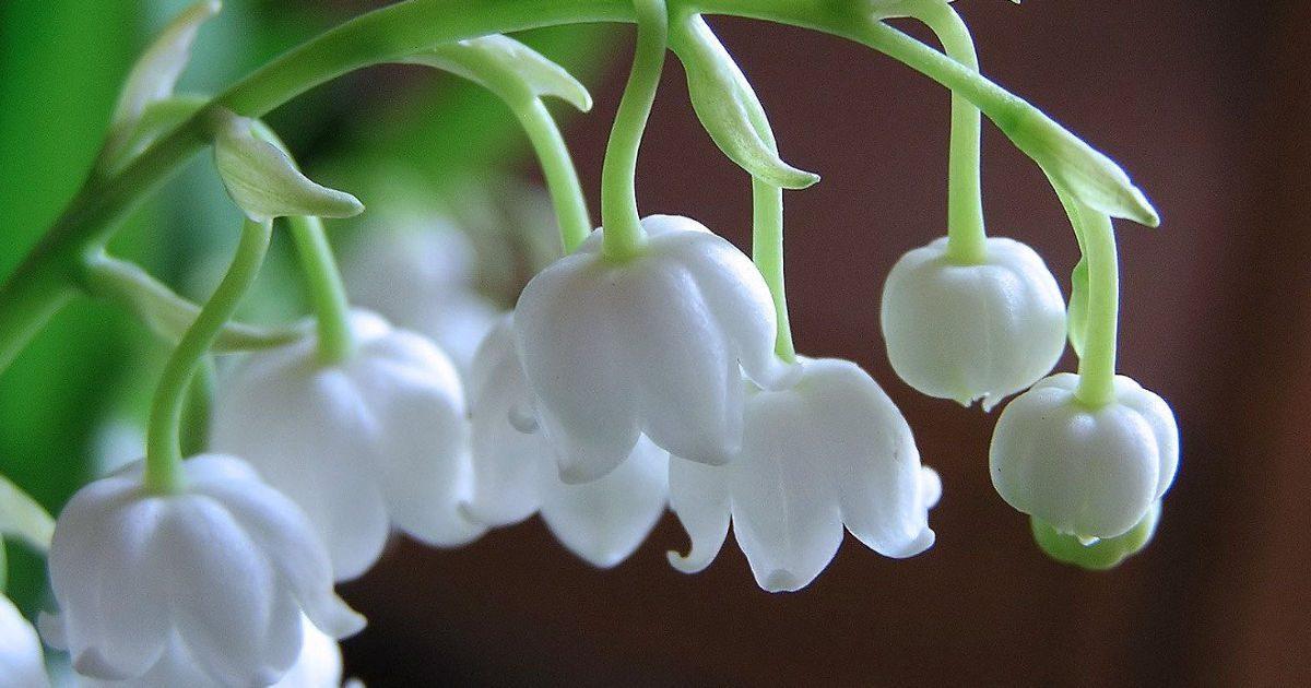 Gyöngyvirág: amilyen szép, olyan veszélyes!